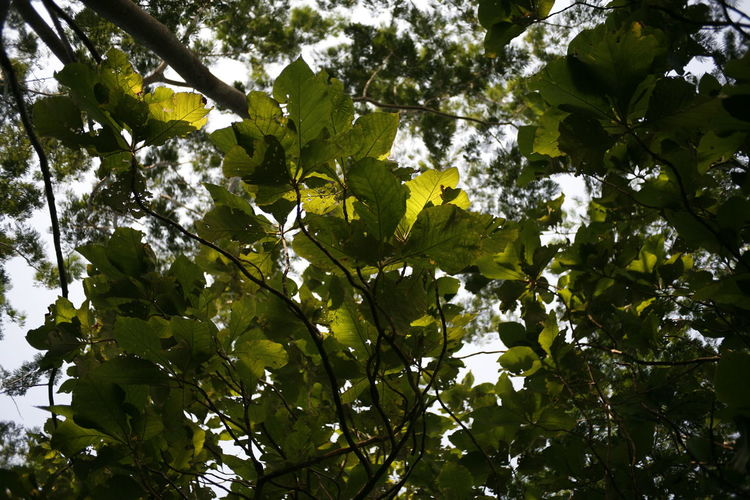 Plant Part Growth Leaf Tree Plant Low Angle View Beauty In Nature Green Color Branch Freshness No People Nature Day Tranquility Sky Outdoors Close-up Sunlight Yellow Full Frame Leaves