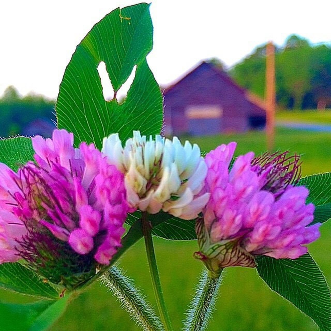 flower, freshness, purple, fragility, nature, plant, no people, close-up, beauty in nature, flower head, pink color, leaf, outdoors, growth, day, sky