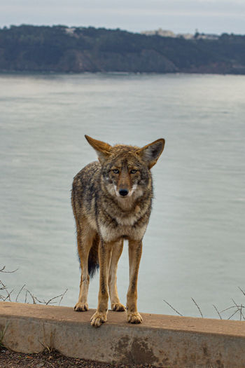 Coyote in the bay area