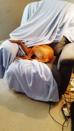 Vizslas? Hungarian Vizsla Vizsla Vizsla Life Dogs Relaxing Crazy Dog Mydog♡