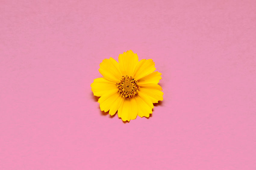 Coreopsis Beauty In Nature Close-up Colored Background Copy Space Coreopsis Flower Flower Arrangement Flower Head Flowering Plant Fragility Freshness Indoors  Inflorescence Nature No People Petal Pink Color Plant Softness Studio Shot Vulnerability  Yellow