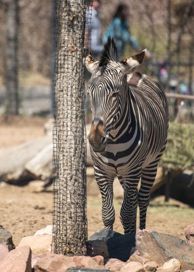 Animal Animal Themes Animal Wildlife Day Herbivorous Mammal Nature No People One Animal Striped Zebra Zoology