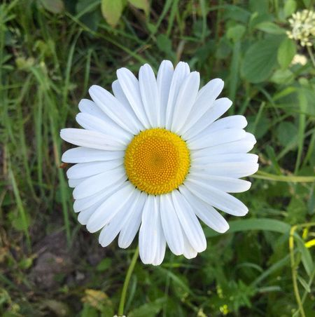 Daisy Flower Petal Flower Head White Color Nature Growth Pollen Fragility Beauty In Nature Freshness Plant Blooming Focus On Foreground No People Day Close-up Outdoors Passion Flower Daisy EyeEmNewHere Plants And Flowers