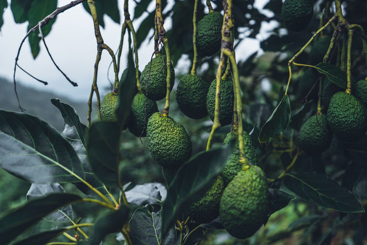Avocado from a tree in a green garden avocado on the farm