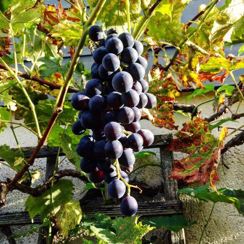 Grape Hanging Muscat Bleu