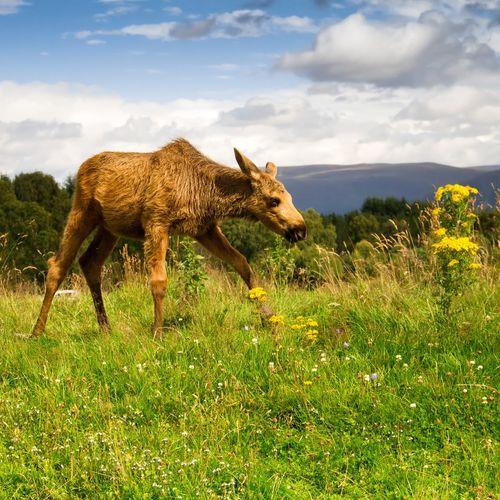 Moose calf walking on grassy field against cloudy sky