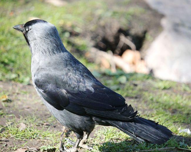 Western jackdaw Jackdaw Western Jackdaw EyeEm Selects Bird Perching Grass