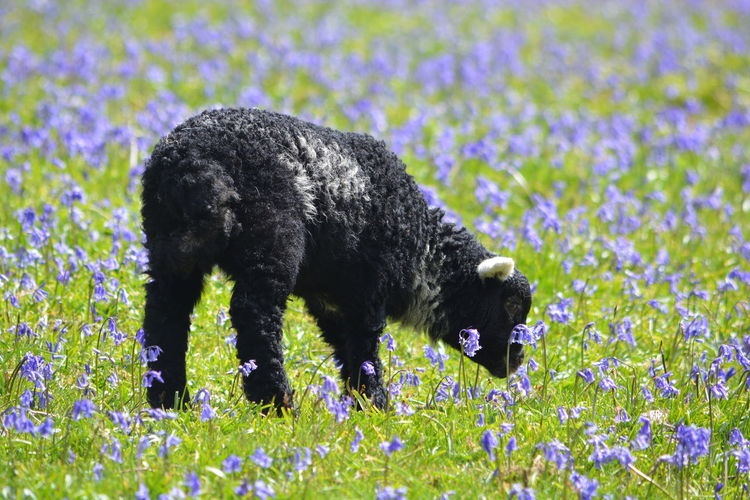 Bluebell Herdwick Rannerdale Rannerdale Bluebells Animal Wildlife Bluebell Bluebell Woods Bluebells Bluebells In The Woods Bluebells. Wild [plant. Nature. Blue One Animal Plant Rannerdale Lakedistrict Sheep Sheeps