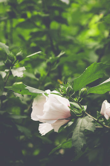 white hibiscus inflorescence and foliage Beauty In Nature Botanical Species Close-up Day Floral Pattern Flower Flower Head Flowering Plant Focus On Foreground Fragility Freshness Green Color Growth Hibiscus Inflorescence Leaf Nature No People Outdoors Petal Plant Plant Part Vulnerability  White Color