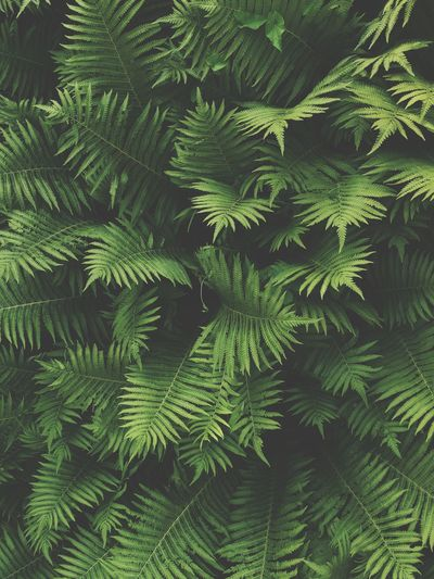 Tree Green Color Plant Backgrounds Nature Leaf Growth Beauty In Nature Outdoors Close-up Tranquility High Angle View Branch Day Full Frame Plant Part Forest No People Fern Coniferous Tree