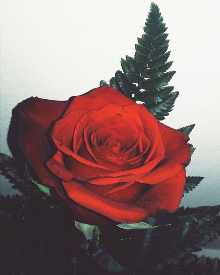 Rosa ♡ Rosas🌹🌹 Rosasrojas Rosas Rojas