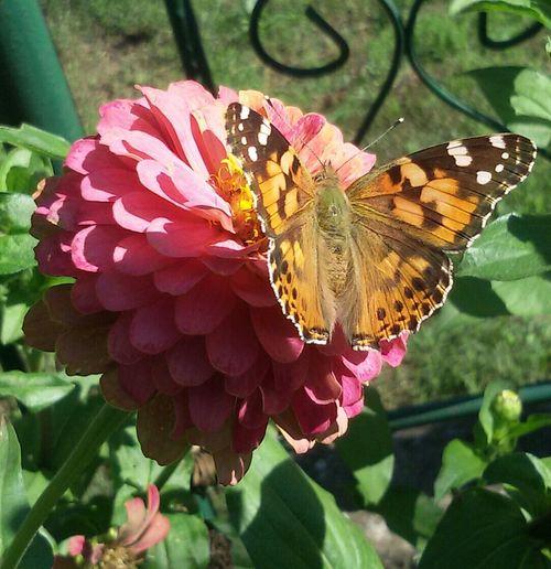 Frommygarden Butterfly Butterflies Butterflyporn Flowers Flowerporn Flower Collection EyeEmFlower Eyeemflowerlover Weekend