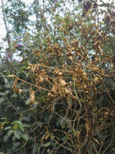 Close-up of dry flowers on tree