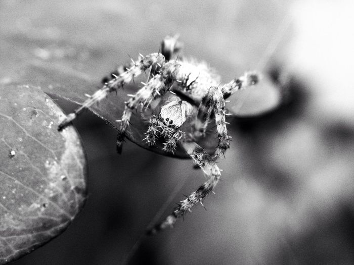 Close up of a garden spider Arachnid Arachnophobia Beauty Black And White Brown Close Up Close-up Detail Eyes Frighten Garden Garden Spider Insect Insects  IPhoneography Leaf Legs Macro Nature No People Scare Scary Spider Victoria Gardner Showcase: November