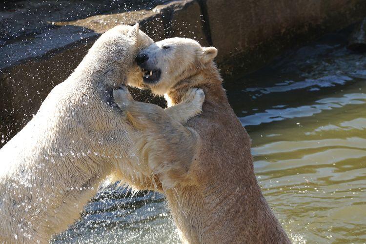Polar bears fighting in water at tierpark berlin zoo