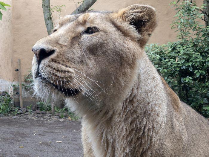 Lion One Animal