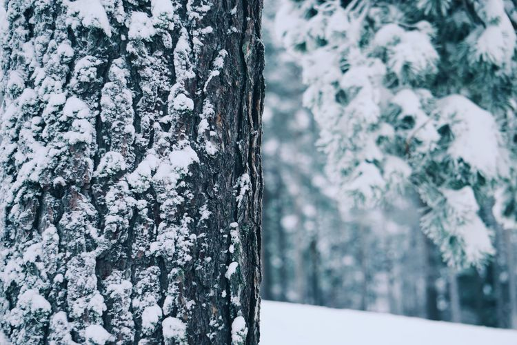 Close-up of snow covered tree trunk
