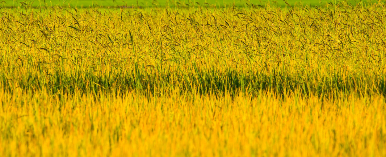 Full Frame Shot Of Yellow Crops On Field