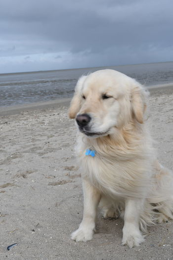 Dogs Dogs Of EyeEm EyeEm Nature Lover EyeEmNewHere Golden Golden Retriever Strand Sylt, Germany Vacations Animal Themes Beach Day Dog Dog Traveller Domestic Animals Germany Golden Retrievers Mammal Nature No People One Animal Outdoors Pets Sky Sylt