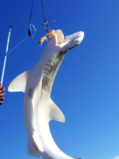 Low angle view of fish hanging against blue sky