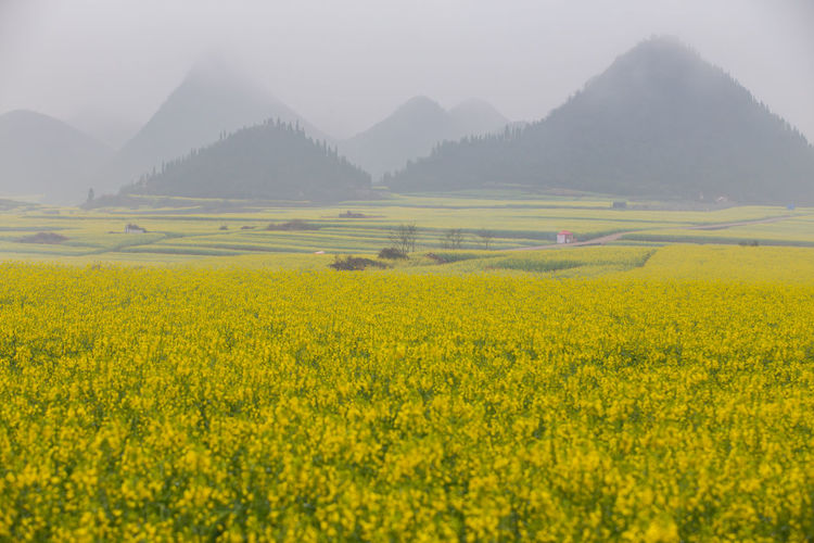 Beauty In Nature Landscape Scenics - Nature Yellow Plant Tranquil Scene Flower Mountain Agriculture Environment Land Flowering Plant Rural Scene Field Tranquility Growth Crop  Mountain Range Oilseed Rape Nature No People Outdoors