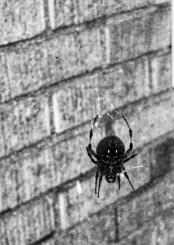 Insect Invertebrate Animal Themes Animal One Animal Animal Wildlife Animals In The Wild Close-up Arthropod Spider Arachnid Spider Web Outdoors Nature Fragility