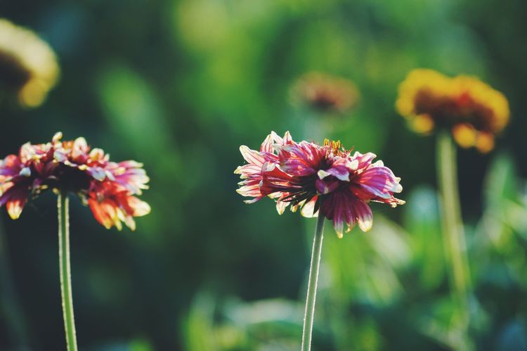 Flower Fragility Beauty In Nature Nature Focus On Foreground Plant Flower Head Freshness Close-up No People Growth Pollen Day Blooming Outdoors Zinnia