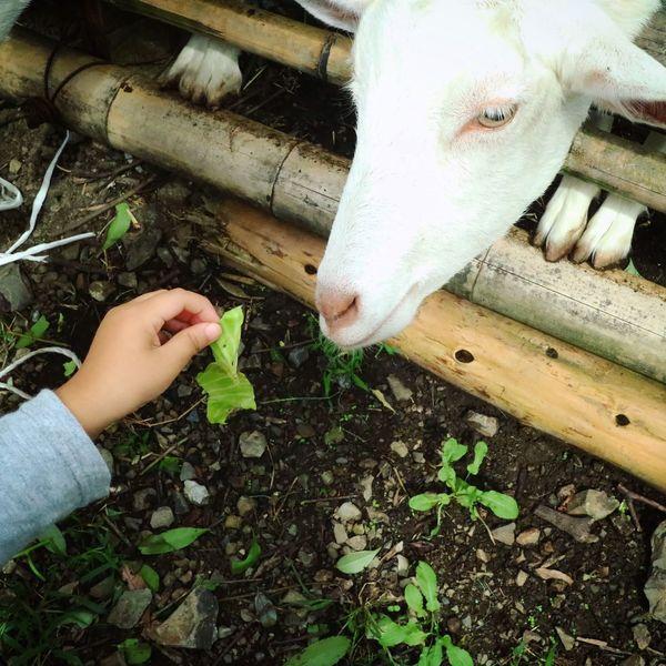 Close-up Outdoors Animal ヤギ White