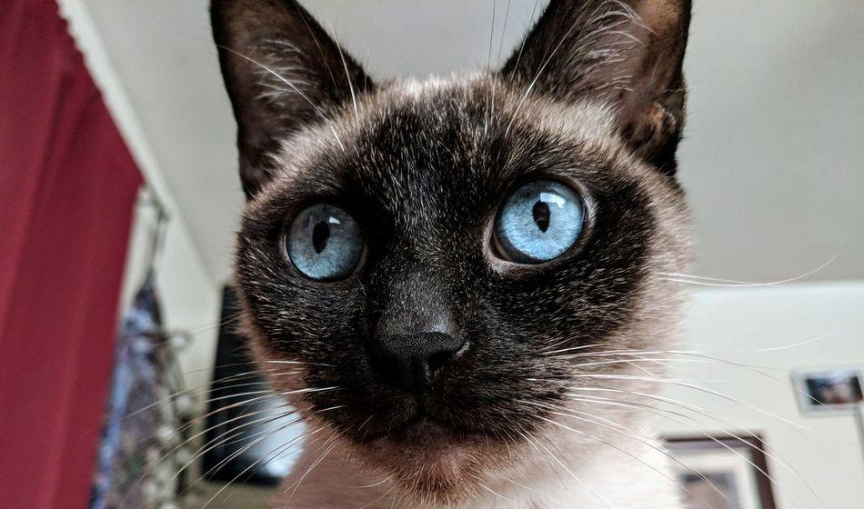 Cats Nooni Eyeemcats Kitty Eyes Cats Of EyeEm EyeEm Selects