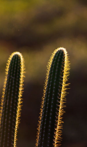 Close-up of a cactus plants at sunset