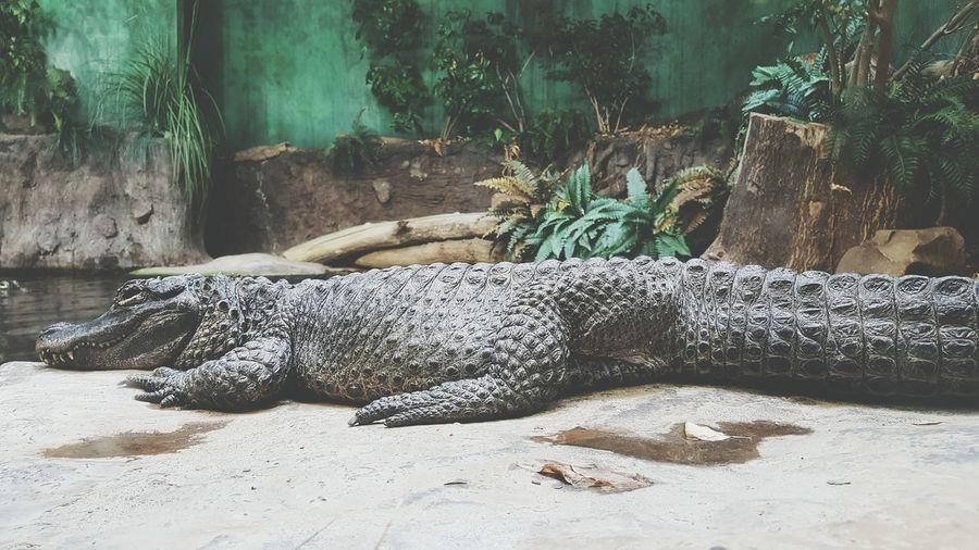 Alligator Resting In Zoo