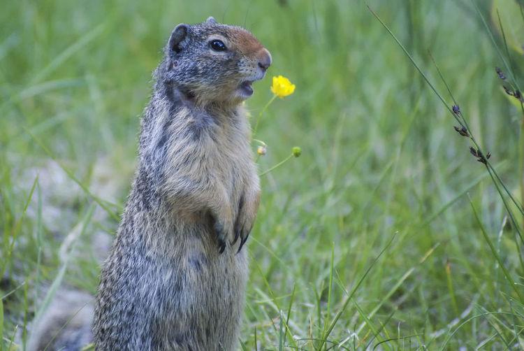 Canadian groundhog Canada Alberta Groundhogs Wildlife & Nature Wildlife Nature Groundhog Wildlife Photography Alertness Grass Close-up