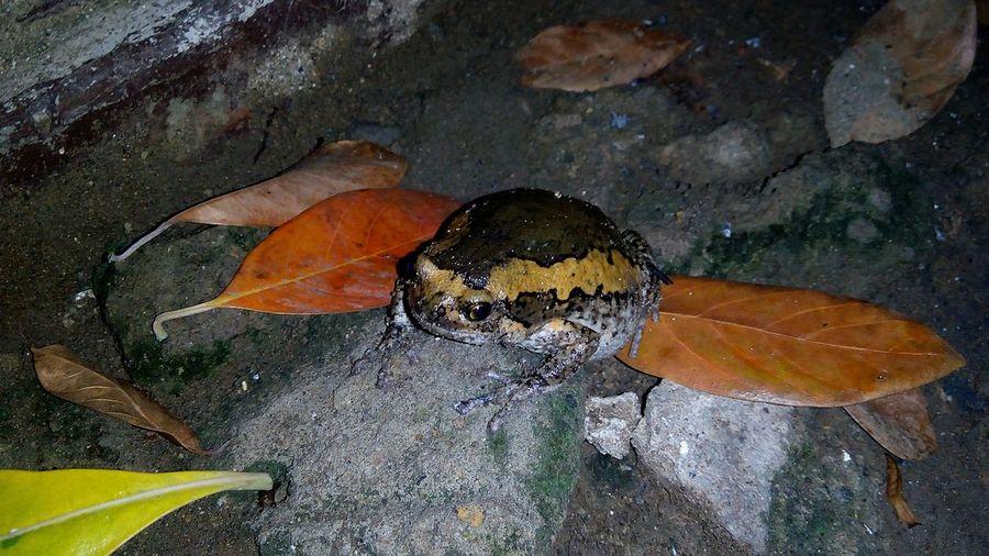 Frog Katak