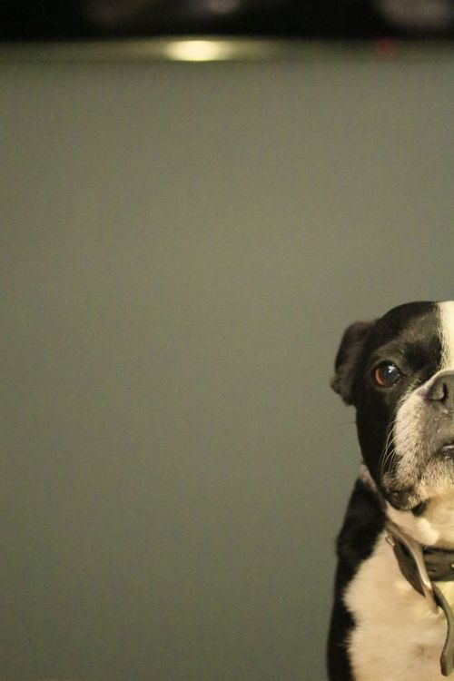 Pearl does Andy Pets One Animal Dog Portrait Warhol Inspired Close-up Illuminated Scenics Boston Terrier