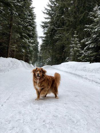 Dog Nsdtr Snow Toller Tree Winter Šumava Šumava Bohemia