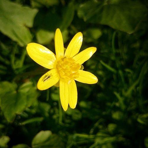Suomi Luonto KesääKohti Kesä2015 kukka keltaista vihreää Finland nature summeriscoming summer2015 flower yellow green sonyxperiaz2