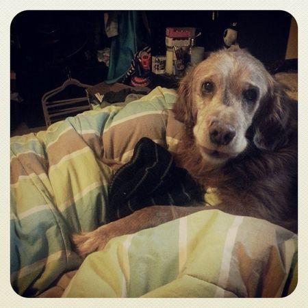 Dogs Dog Brat Sassbutt oldman mybaby goldenretrever