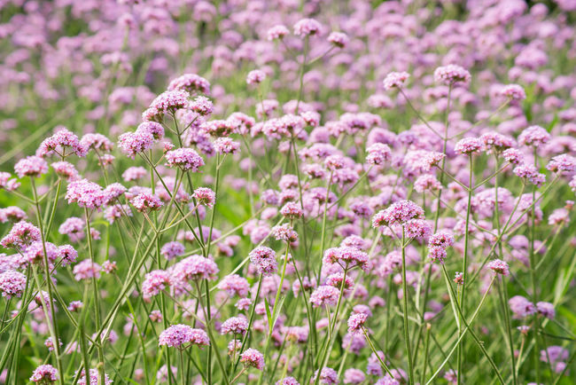Verbena bonariensis Backgrounds Beauty In Nature Blooming Field Flower Fragility Growth Nature Petal Pink Color Plant Purple Springtime Summer Verbena Bonariensis