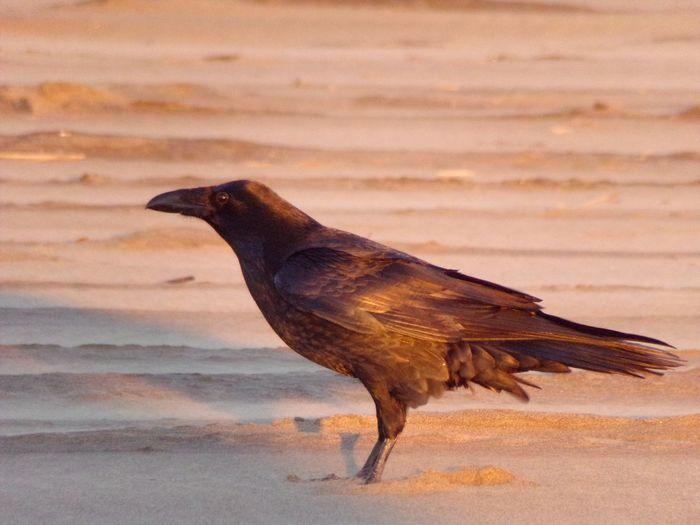 Raven Ravens