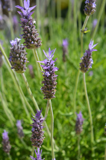 Lavender flowering in Spring Beauty In Nature Blooming Botany Close-up Day Field Flower Flower Head Flowerbed Focus On Foreground Fragility Freshness Garden Plants Growth Lavender Lavender Colored Nature No People Outdoors Petal Plant Pollination Purple Springtime