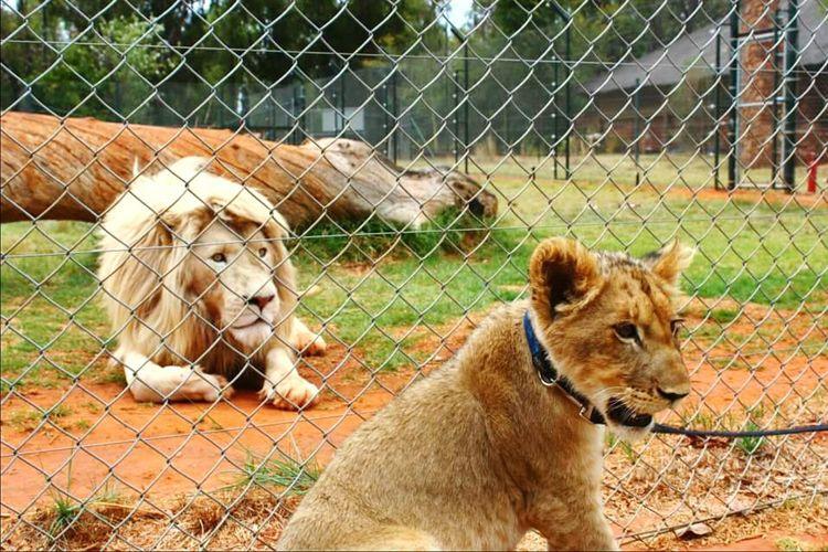 Animal Themes Fence No People WhiteLion Bigcatphotography South Africa Gamereserve Thebigfive Animal Photography Endangered Species Lion Close-up Kingofthejungle Bigcats Lioncub Babylion