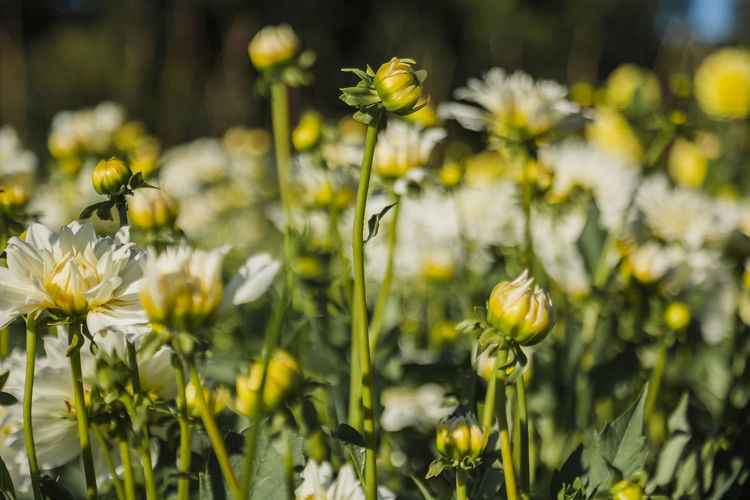 Flower Plant Growth Flowering Plant Beauty In Nature Vulnerability  Fragility Freshness Yellow Close-up Nature Petal No People Field Selective Focus Flower Head Focus On Foreground Day Land Inflorescence Outdoors