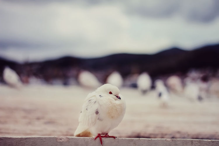 A white pigeon Close Up Mountain Background On The Rooftop On Top Of The Rooftops One Bird On Focus Pigeon Bird  Pigeons Soft Focus Breathing Space The Week On EyeEm
