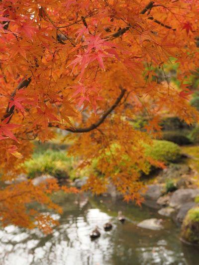 2018/12/05 Wed ☔☁ おはよ〜ございます。 雨が降ってたので歩いて駅まで来たけど途中で止んだ〜 このまま止んでてほしいな〜 Date:2018/11/26 Location:東京・旧古河庭園 ファインダー越しの私の世界 ファインダーは私のキャンパス Olympus E_M5Mark2 Om_d オリンパス ミラーレス Photograph Photography カメラ日和 お写んぽ スナップ写真 Tokyo Beautiful カメラのある生活 あなたに見せたい写真がある 写真は心のシャッター 恋するカメラ 秋は駆け足 旧古河庭園 Ice Hockey Tree Water Hockey Branch Book Cover Multi Colored Beauty Forest Maple Leaf