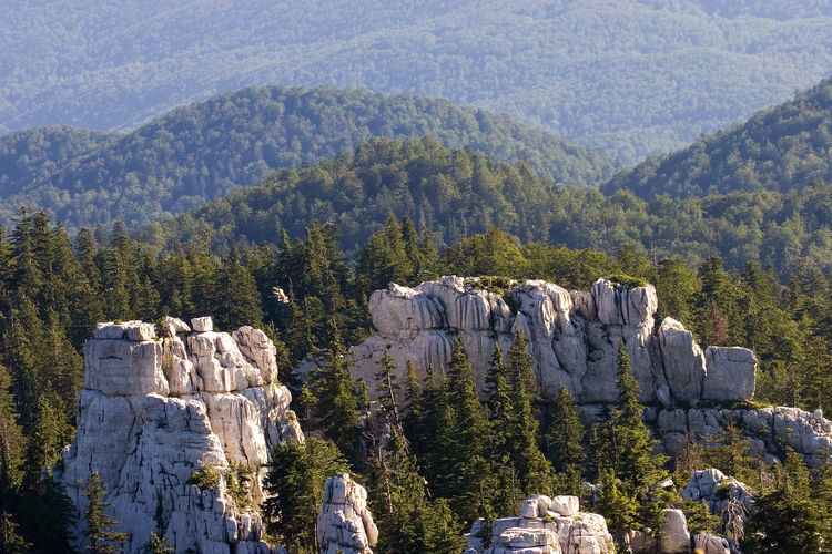 Panoramic view of pine trees in mountains