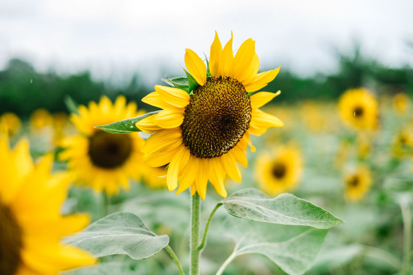 sunflower, copy space, gardening Agriculture Field Green Color Isolated Backgrounds Beauty In Nature Close-up Flower Flower Head Flowering Plant Fragility Freshness Growth Inflorescence Leaf Nature Outdoors Petal Plant Plant Part Pollen Pollination Sunflower Vulnerability  Yellow