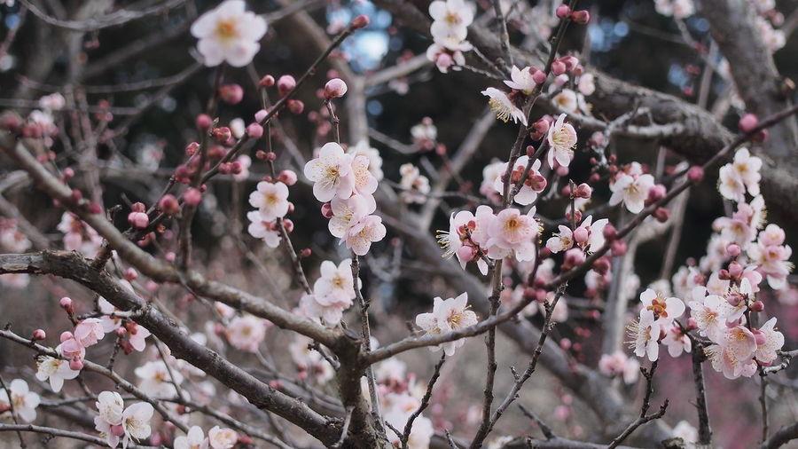 薄紅色 Plum Flower Ume M.zuiko Photowalk Streamzoofamily