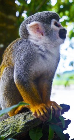 Squirrel Monkey on the lookout Monkey Colombia Amazon River Nature Rainforest Animals In The Wild Animal Squirrel Monkey Saimiri Sciureus Looking Cute