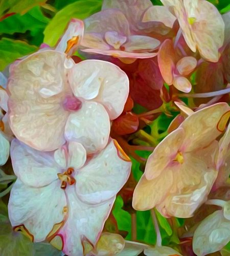 Flower Hydrangea Petal Nature Plant Flower Head Fragility Beauty In Decay Wilting Flowers Beauty In Nature No People Wilted Beauty Freshness Growth Close-up Pastel Colored Beauty Outdoors Day Multi Colored EyeEm Masterclass Telling Stories Differently EyeEm Gallery Scenics Tranquility