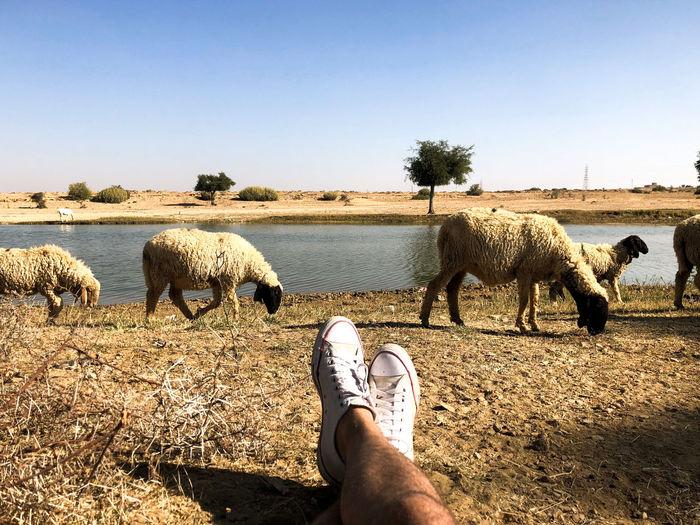 Desert India Sheepherd Travel Camel Domestic Animals Jaisalmer Obrigado Outdoors Rajasthan Sand Sand Dune Sheep Sunset Thar Desert